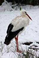 Snowy stork.