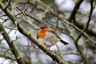 Little puffed up robin.