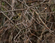 OK, I'm going for siskin on this one - again, if I'm wrong please correct me, I'm trying to learn.
